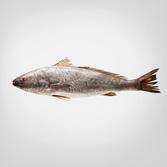 Corvina de 2 kg de acuicultura