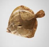 Turbot de 500 g d'aqüicultura